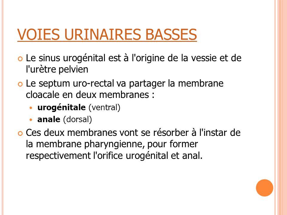 VOIES URINAIRES BASSES Le sinus urogénital est à l'origine de la vessie et de l'urètre pelvien Le septum uro-rectal va partager la membrane cloacale e