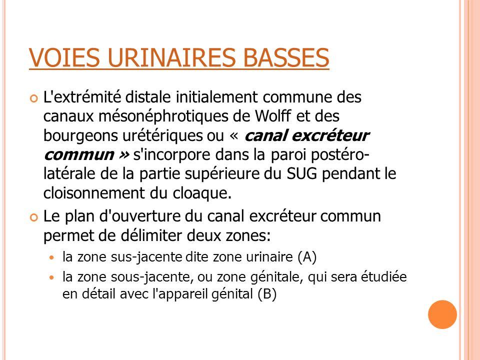 VOIES URINAIRES BASSES L'extrémité distale initialement commune des canaux mésonéphrotiques de Wolff et des bourgeons urétériques ou « canal excréteur