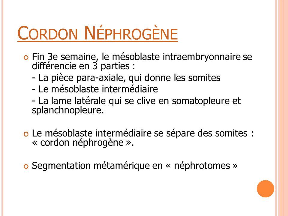 C ORDON N ÉPHROGÈNE Fin 3e semaine, le mésoblaste intraembryonnaire se différencie en 3 parties : - La pièce para-axiale, qui donne les somites - Le m