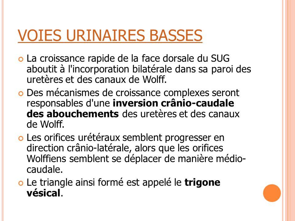 VOIES URINAIRES BASSES La croissance rapide de la face dorsale du SUG aboutit à l'incorporation bilatérale dans sa paroi des uretères et des canaux de