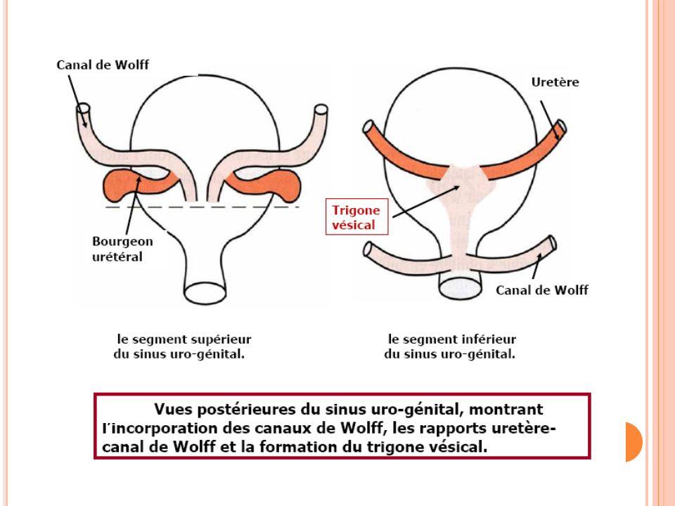 VOIES URINAIRES BASSES Le trigone vésical sera formé par le rapprochement des orifices urétéraux et du canal de Wolff.