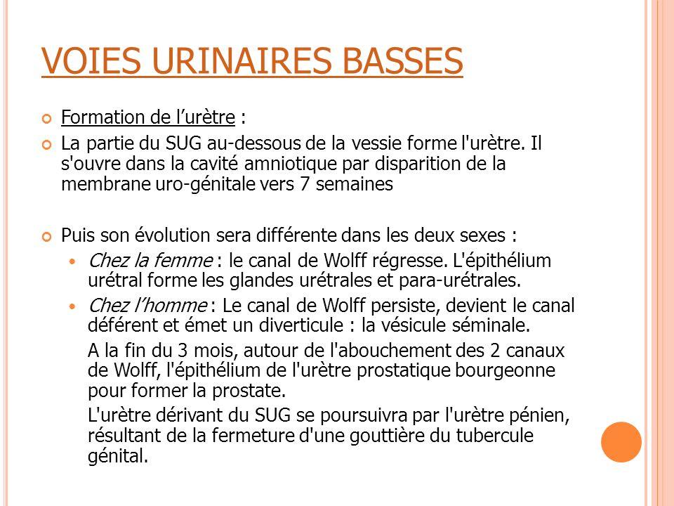 VOIES URINAIRES BASSES Formation de l'urètre : La partie du SUG au-dessous de la vessie forme l'urètre. Il s'ouvre dans la cavité amniotique par dispa