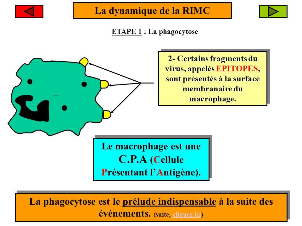 La dynamique de la RIMC Macrophage Virus 1- Le virus subit la PHAGOCYTOSE 1- Le virus subit la PHAGOCYTOSE 2- Certains fragments du virus, appelés EPI