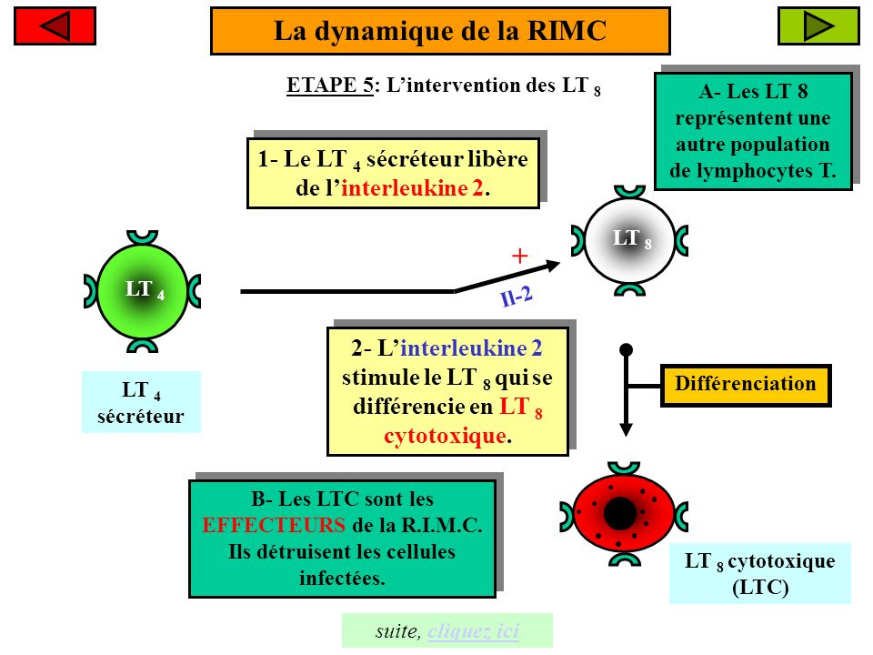LT 8 La dynamique de la RIMC ETAPE 5: Lintervention des LT 8 LT 8 cytotoxique (LTC) 1- Le LT 4 sécréteur libère de linterleukine 2. 1- Le LT 4 sécréte