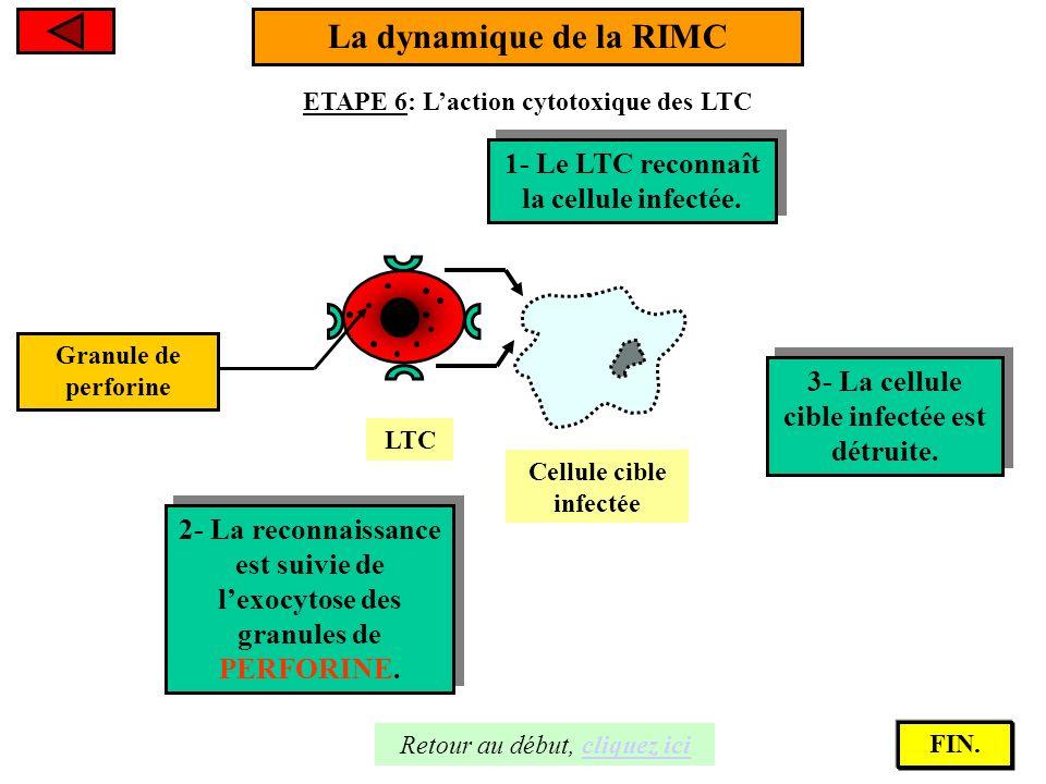 La dynamique de la RIMC ETAPE 6: Laction cytotoxique des LTC Cellule cible infectée 1- Le LTC reconnaît la cellule infectée. 1- Le LTC reconnaît la ce