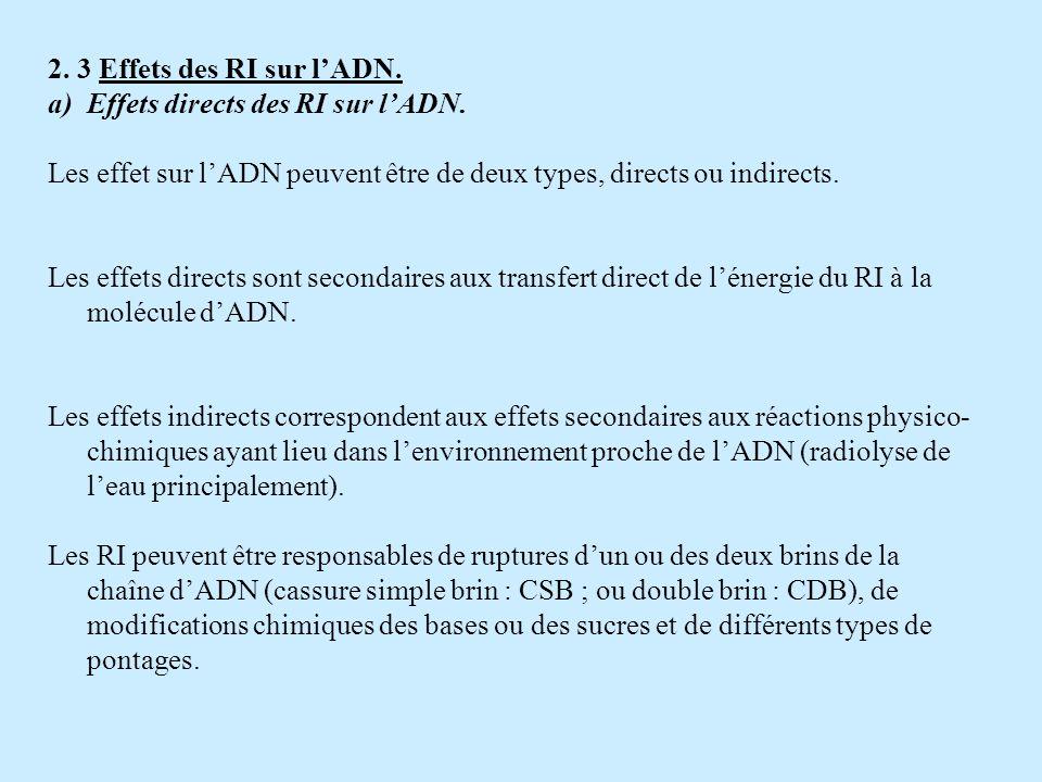 2. 3 Effets des RI sur lADN. a)Effets directs des RI sur lADN. Les effet sur lADN peuvent être de deux types, directs ou indirects. Les effets directs