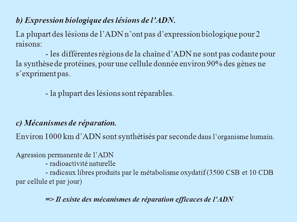 b) Expression biologique des lésions de lADN. La plupart des lésions de lADN nont pas dexpression biologique pour 2 raisons: - les différentes régions