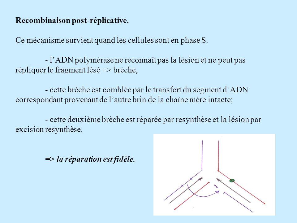 Recombinaison post-réplicative. Ce mécanisme survient quand les cellules sont en phase S. - lADN polymérase ne reconnaît pas la lésion et ne peut pas