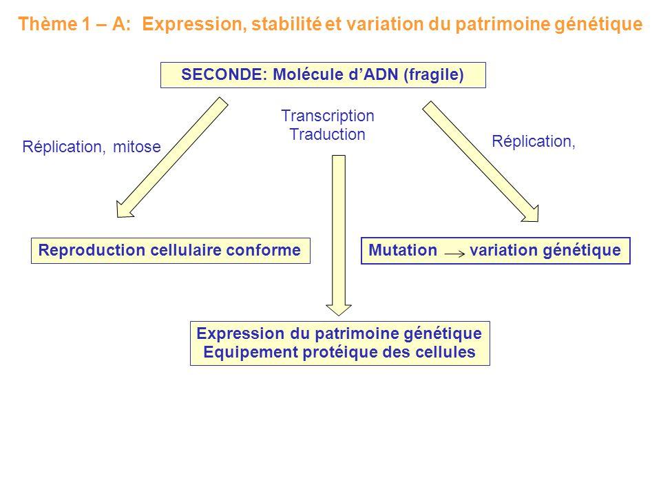 Thème 1 – A: Expression, stabilité et variation du patrimoine génétique SECONDE: Molécule dADN (fragile) Reproduction cellulaire conforme Mutation var