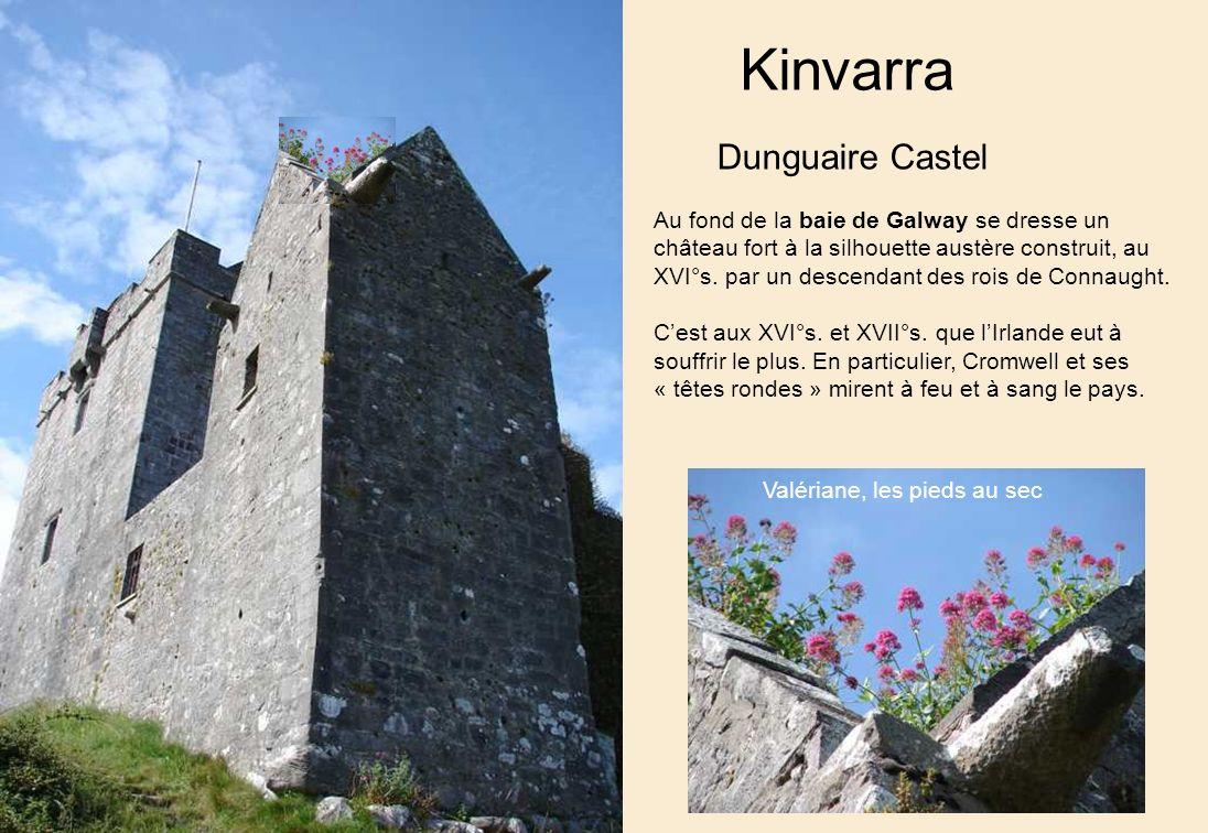 Kinvarra Dunguaire Castel Au fond de la baie de Galway se dresse un château fort à la silhouette austère construit, au XVI°s.
