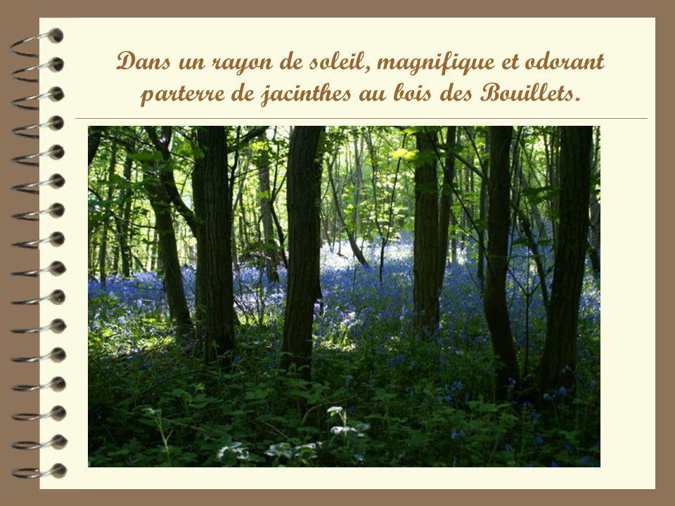 Dans un rayon de soleil, magnifique et odorant parterre de jacinthes au bois des Bouillets.