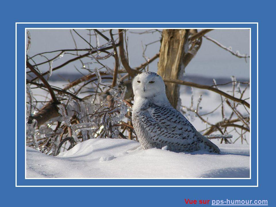 L harfang des neiges fonde sa famille dans la toundra de l Amérique du Nord.