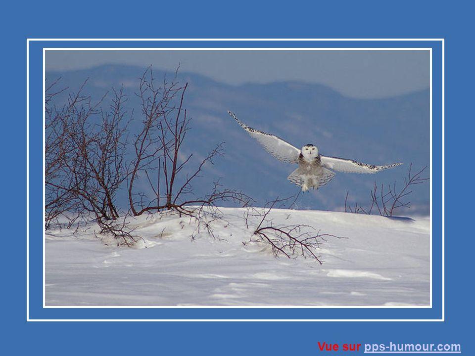 L harfang des neiges préfère les petits mammifères d Arctique.