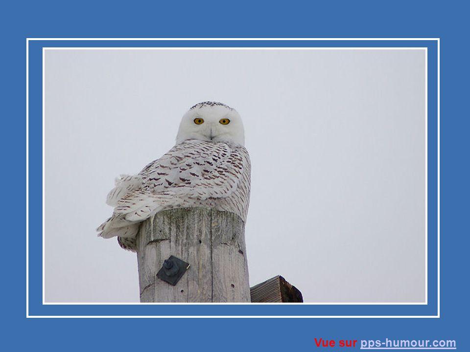 Le harfang des neiges, qui hiverne dans le sud du Canada et dans le nord des États-Unis, reprend le chemin vers le mois de février ou vers le mois de mars pour son aire de nidification.