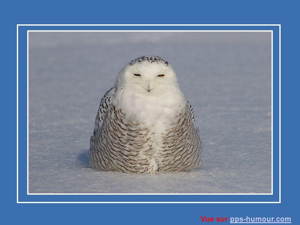 L harfang des neiges a les yeux jaunes et un petit bec crochu.