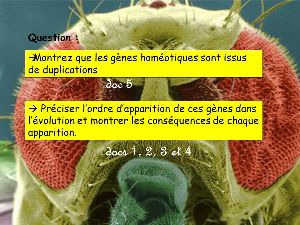 doc 5 docs 1, 2, 3 et 4 Montrez que les gènes homéotiques sont issus de duplications Question : Préciser lordre dapparition de ces gènes dans lévolution et montrer les conséquences de chaque apparition.