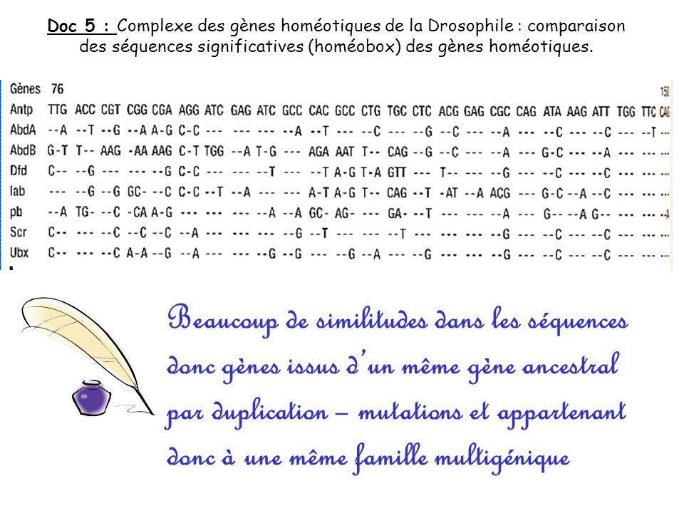 Doc 5 : Complexe des gènes homéotiques de la Drosophile : comparaison des séquences significatives (homéobox) des gènes homéotiques.