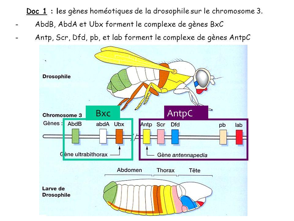 Doc 1 : les gènes homéotiques de la drosophile sur le chromosome 3. - AbdB, AbdA et Ubx forment le complexe de gènes BxC - Antp, Scr, Dfd, pb, et lab