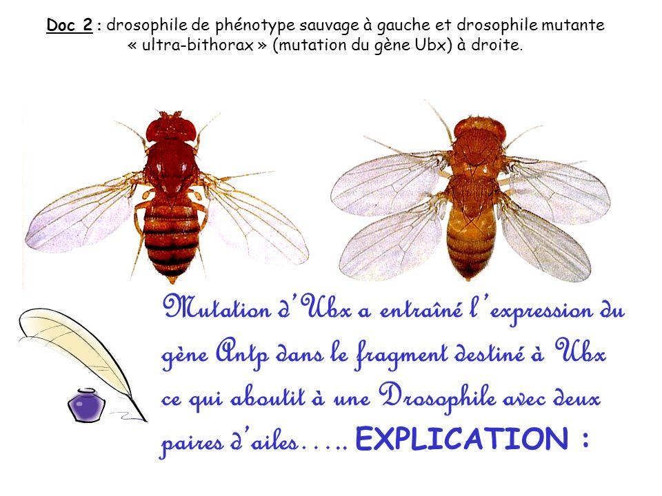 Doc 2 : drosophile de phénotype sauvage à gauche et drosophile mutante « ultra-bithorax » (mutation du gène Ubx) à droite. Mutation dUbx a entraîné le