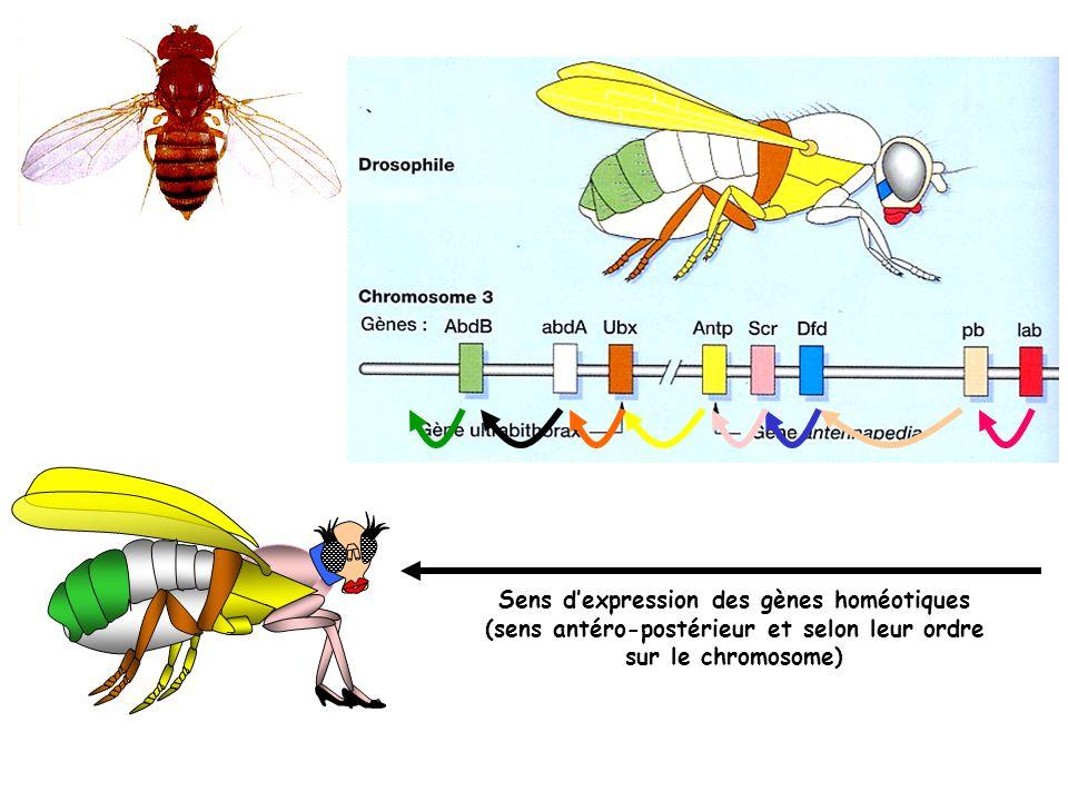 Sens dexpression des gènes homéotiques (sens antéro-postérieur et selon leur ordre sur le chromosome)