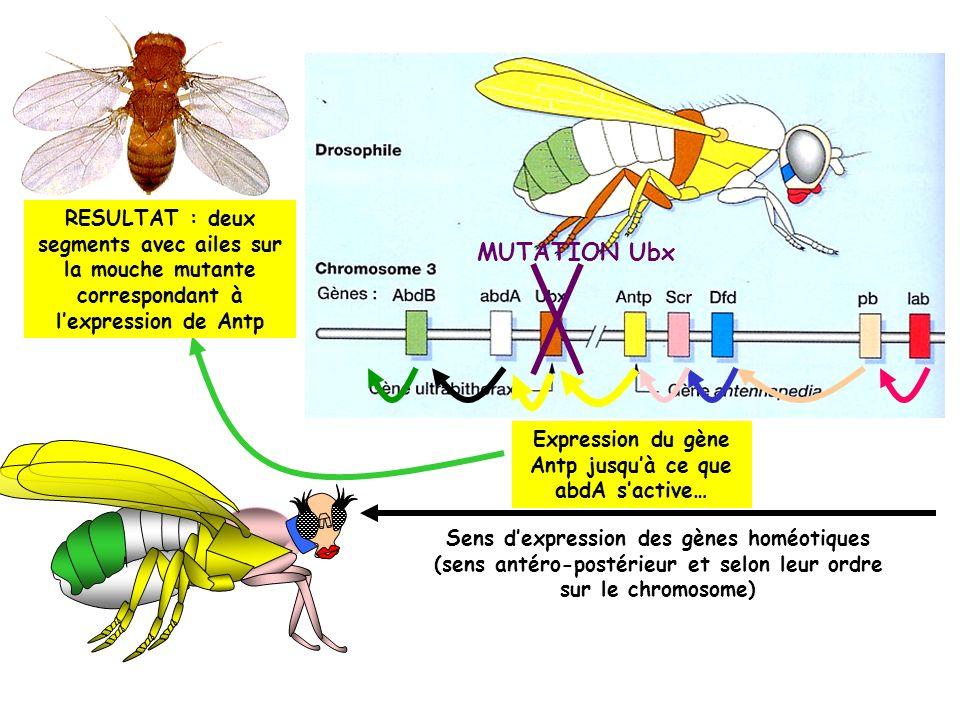 MUTATION Ubx RESULTAT : deux segments avec ailes sur la mouche mutante correspondant à lexpression de Antp Expression du gène Antp jusquà ce que abdA