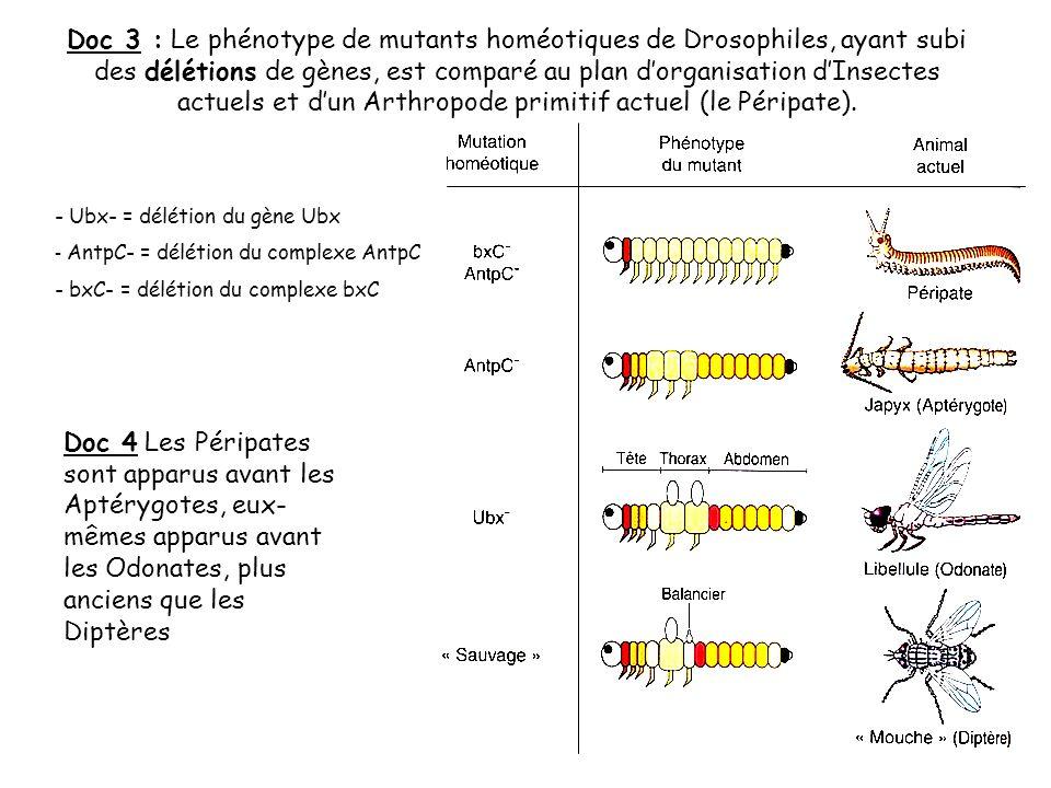 Doc 3 : Le phénotype de mutants homéotiques de Drosophiles, ayant subi des délétions de gènes, est comparé au plan dorganisation dInsectes actuels et dun Arthropode primitif actuel (le Péripate).