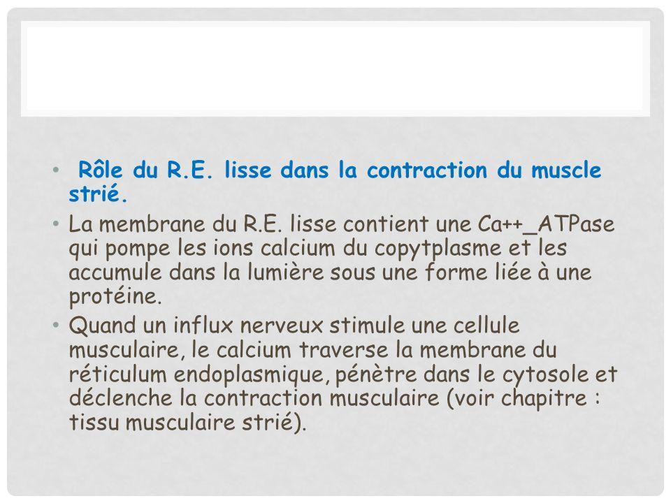 Rôle du R.E. lisse dans la contraction du muscle strié. La membrane du R.E. lisse contient une Ca++_ATPase qui pompe les ions calcium du copytplasme e