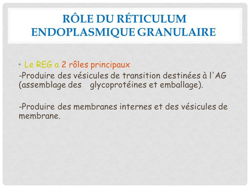 RÔLE DU RÉTICULUM ENDOPLASMIQUE GRANULAIRE Le REG a 2 rôles principaux -Produire des vésicules de transition destinées à l'AG (assemblage des glycopro