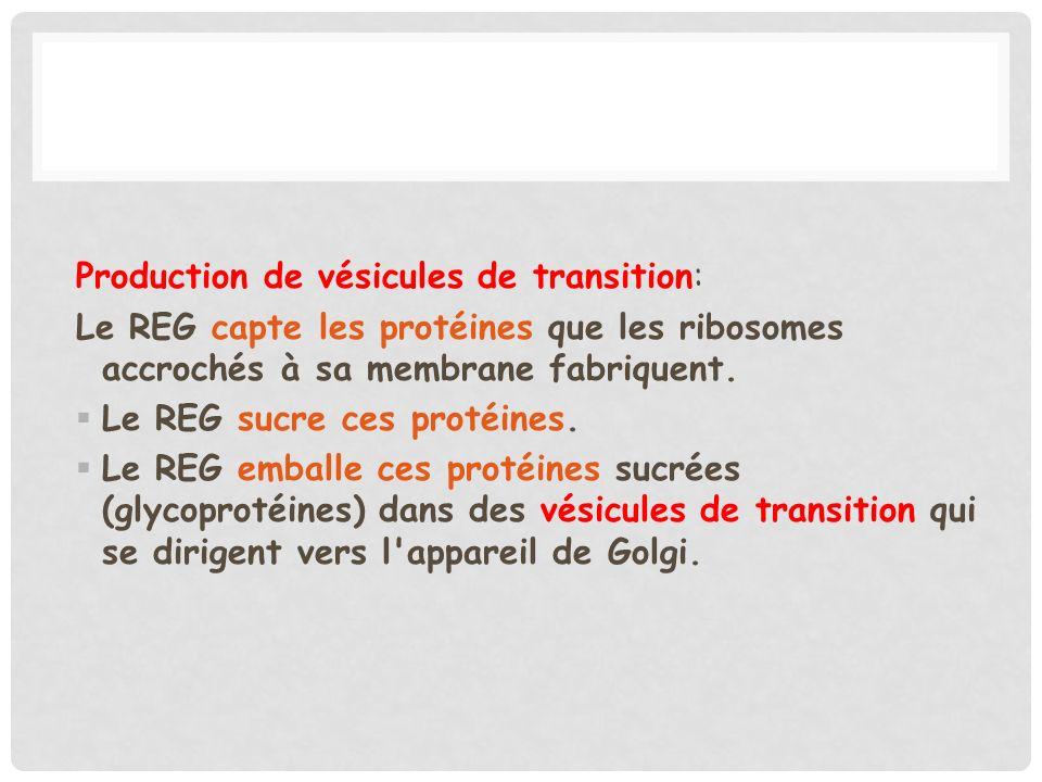 Production de vésicules de transition: Le REG capte les protéines que les ribosomes accrochés à sa membrane fabriquent. Le REG sucre ces protéines. Le