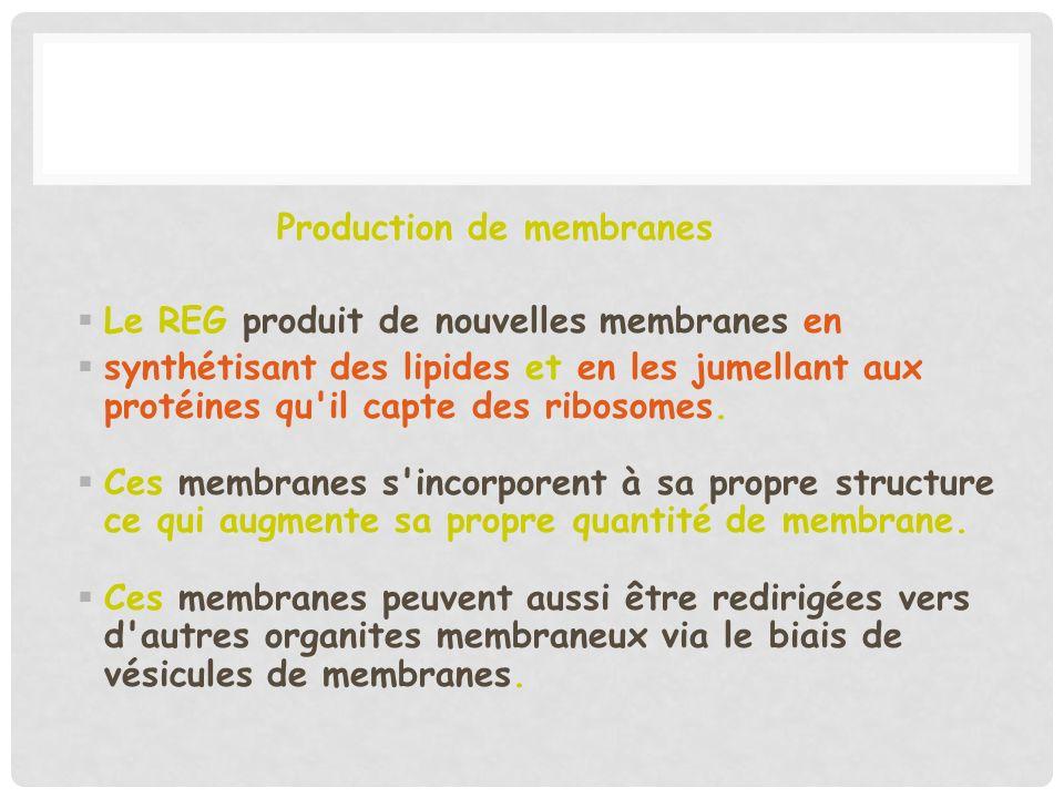 Production de membranes Le REG produit de nouvelles membranes en synthétisant des lipides et en les jumellant aux protéines qu'il capte des ribosomes.