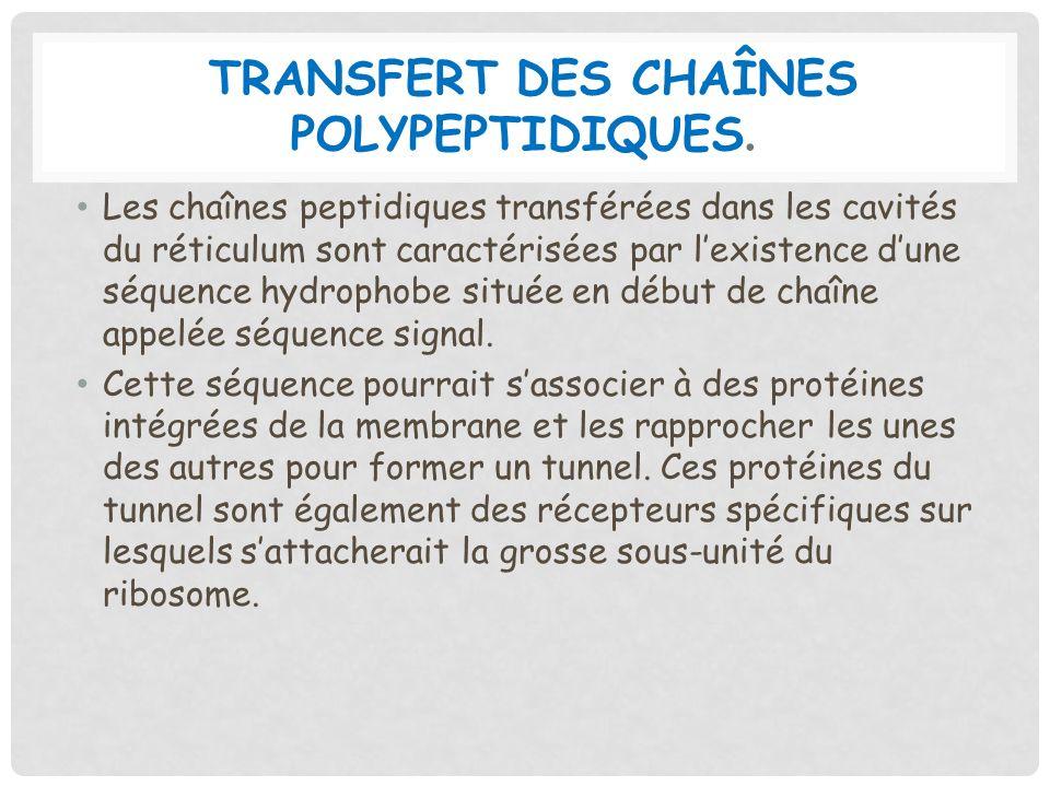 TRANSFERT DES CHAÎNES POLYPEPTIDIQUES. Les chaînes peptidiques transférées dans les cavités du réticulum sont caractérisées par lexistence dune séquen