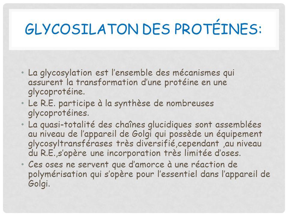 GLYCOSILATON DES PROTÉINES: La glycosylation est lensemble des mécanismes qui assurent la transformation dune protéine en une glycoprotéine. Le R.E. p