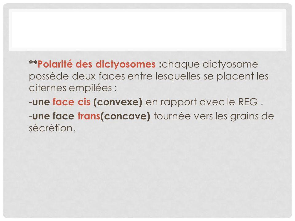 **Polarité des dictyosomes : chaque dictyosome possède deux faces entre lesquelles se placent les citernes empilées : - une face cis (convexe) en rapp