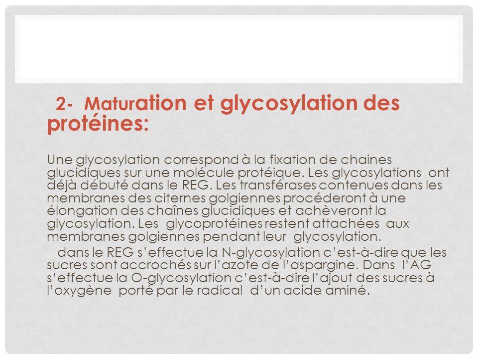 2- Matur ation et glycosylation des protéines: Une glycosylation correspond à la fixation de chaines glucidiques sur une molécule protéique. Les glyco