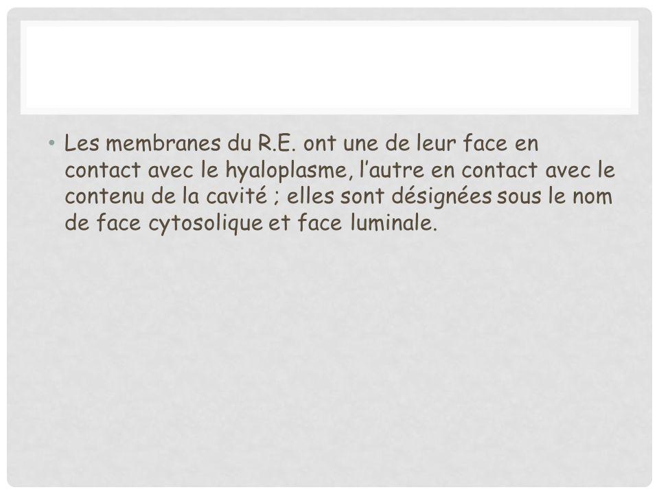Les membranes du R.E. ont une de leur face en contact avec le hyaloplasme, lautre en contact avec le contenu de la cavité ; elles sont désignées sous