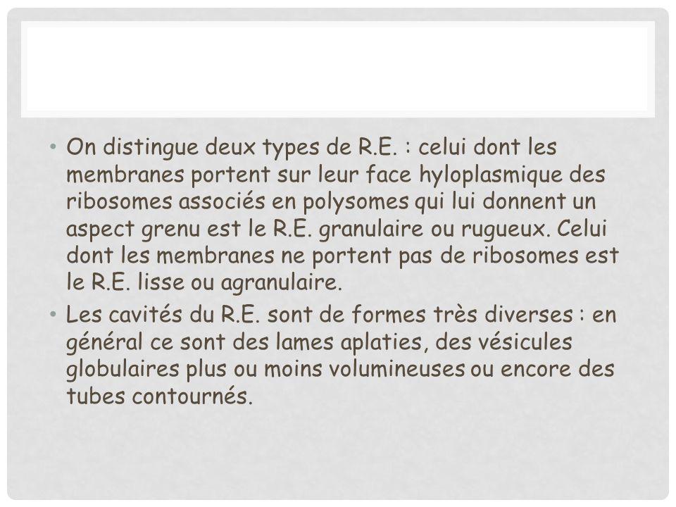 On distingue deux types de R.E. : celui dont les membranes portent sur leur face hyloplasmique des ribosomes associés en polysomes qui lui donnent un