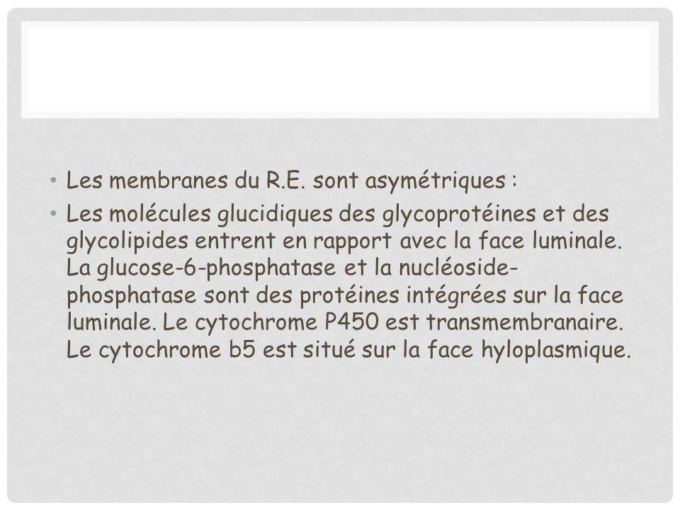 Les membranes du R.E. sont asymétriques : Les molécules glucidiques des glycoprotéines et des glycolipides entrent en rapport avec la face luminale. L