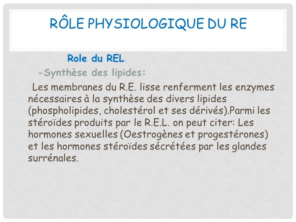 RÔLE PHYSIOLOGIQUE DU RE Role du REL -Synthèse des lipides: Les membranes du R.E. lisse renferment les enzymes nécessaires à la synthèse des divers li