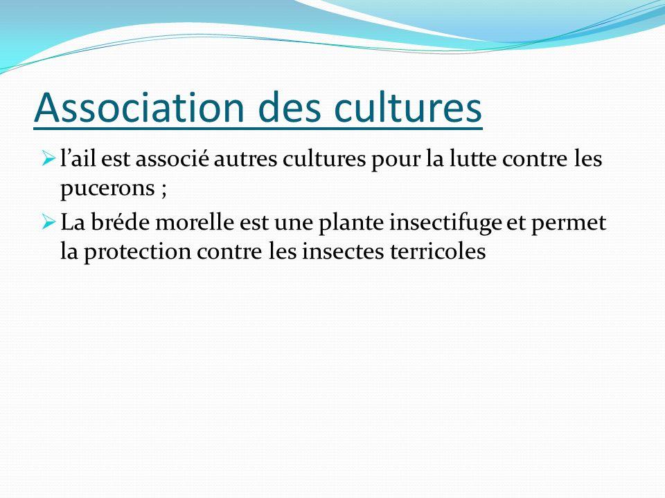 Association des cultures lail est associé autres cultures pour la lutte contre les pucerons ; La bréde morelle est une plante insectifuge et permet la