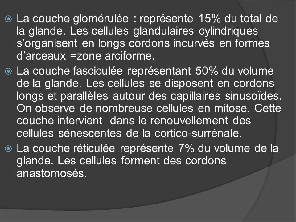 La couche glomérulée : représente 15% du total de la glande. Les cellules glandulaires cylindriques sorganisent en longs cordons incurvés en formes da