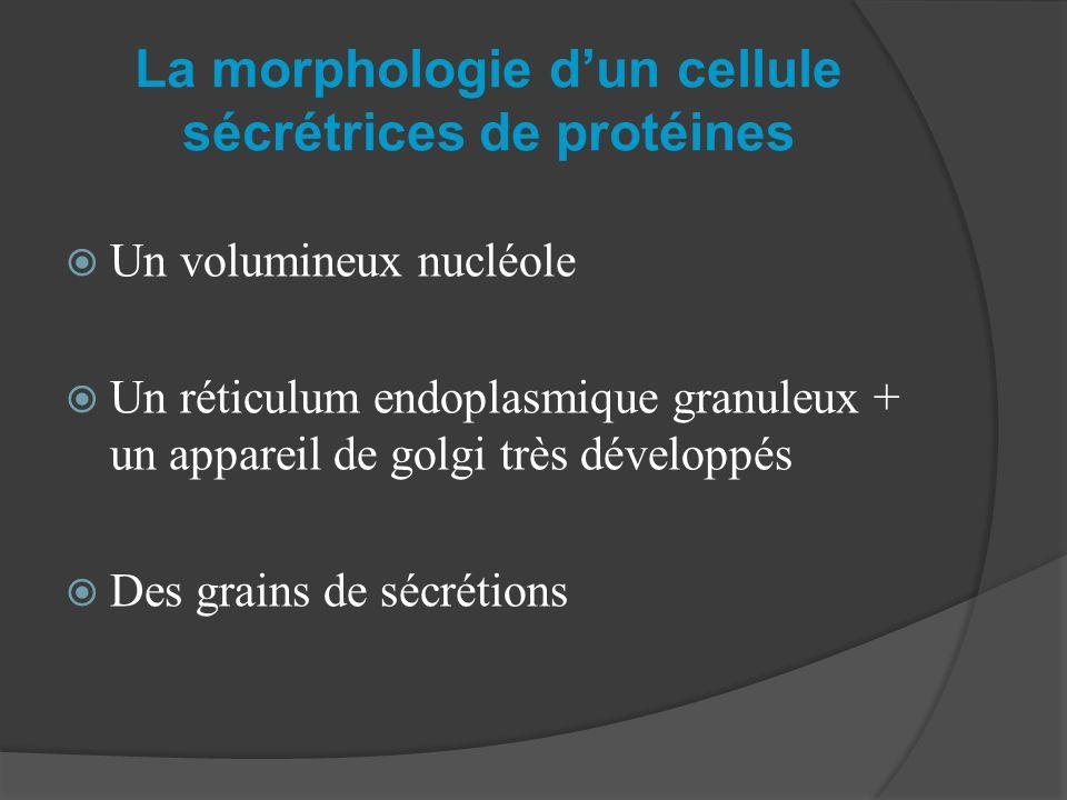 La morphologie dun cellule sécrétrices de protéines Un volumineux nucléole Un réticulum endoplasmique granuleux + un appareil de golgi très développés