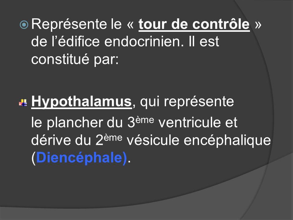 Représente le « tour de contrôle » de lédifice endocrinien. Il est constitué par: Hypothalamus, qui représente le plancher du 3 ème ventricule et déri