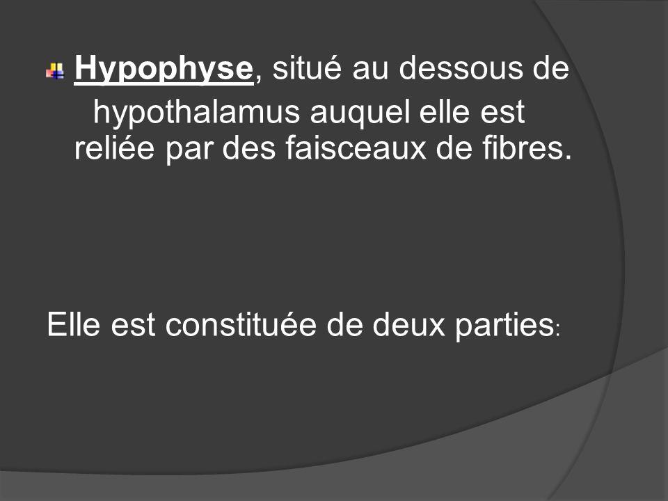 Hypophyse, situé au dessous de hypothalamus auquel elle est reliée par des faisceaux de fibres. Elle est constituée de deux parties :