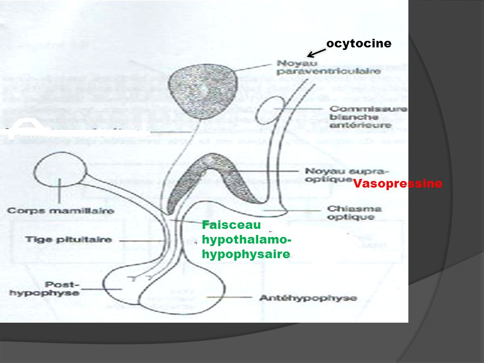 ocytocine Vasopressine Faisceau hypothalamo- hypophysaire