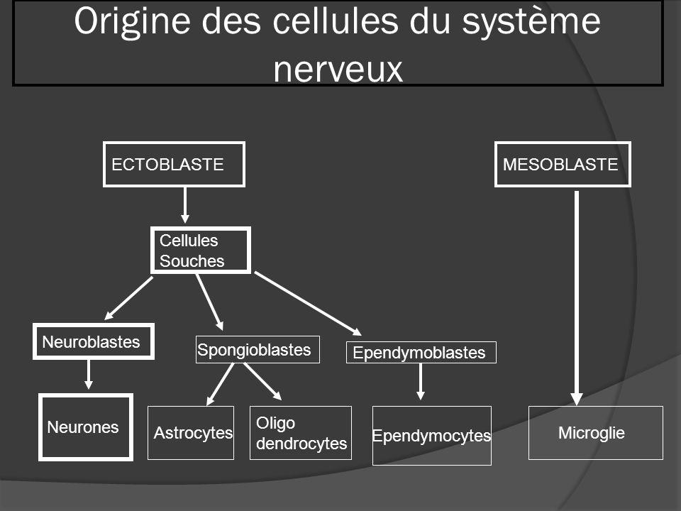 Origine des cellules du système nerveux ECTOBLASTEMESOBLASTE Cellules Souches Neuroblastes Spongioblastes Ependymoblastes Neurones Astrocytes Oligo de