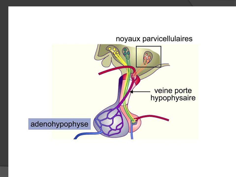 Nx infundibulaire (arqué) Nx mamillaire Nx hypothalamique postérieur (NHP).
