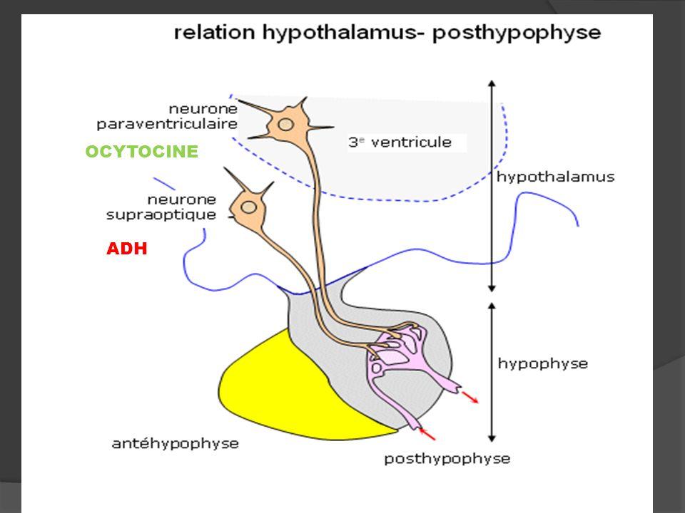ADH OCYTOCINE