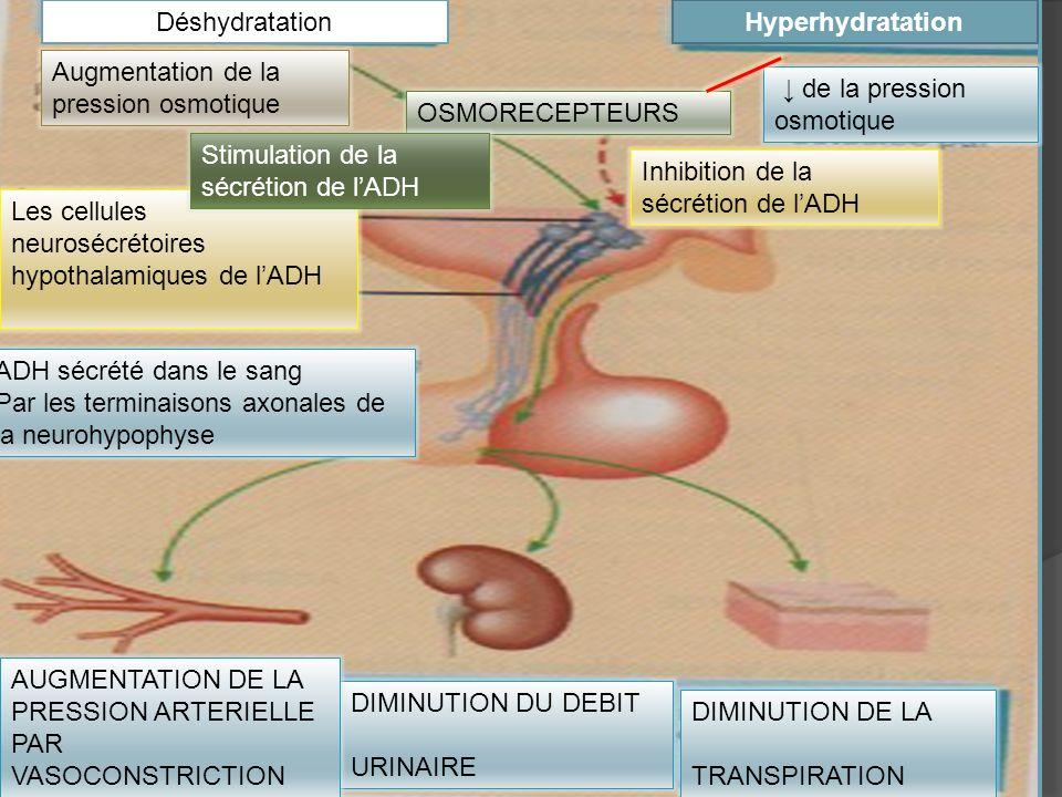HyperhydratationDéshydratation de la pression osmotique OSMORECEPTEURS DIMINUTION DE LA TRANSPIRATION DIMINUTION DU DEBIT URINAIRE AUGMENTATION DE LA