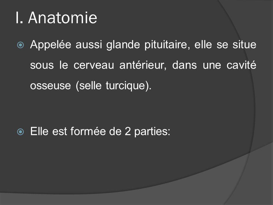 I. Anatomie Appelée aussi glande pituitaire, elle se situe sous le cerveau antérieur, dans une cavité osseuse (selle turcique). Elle est formée de 2 p