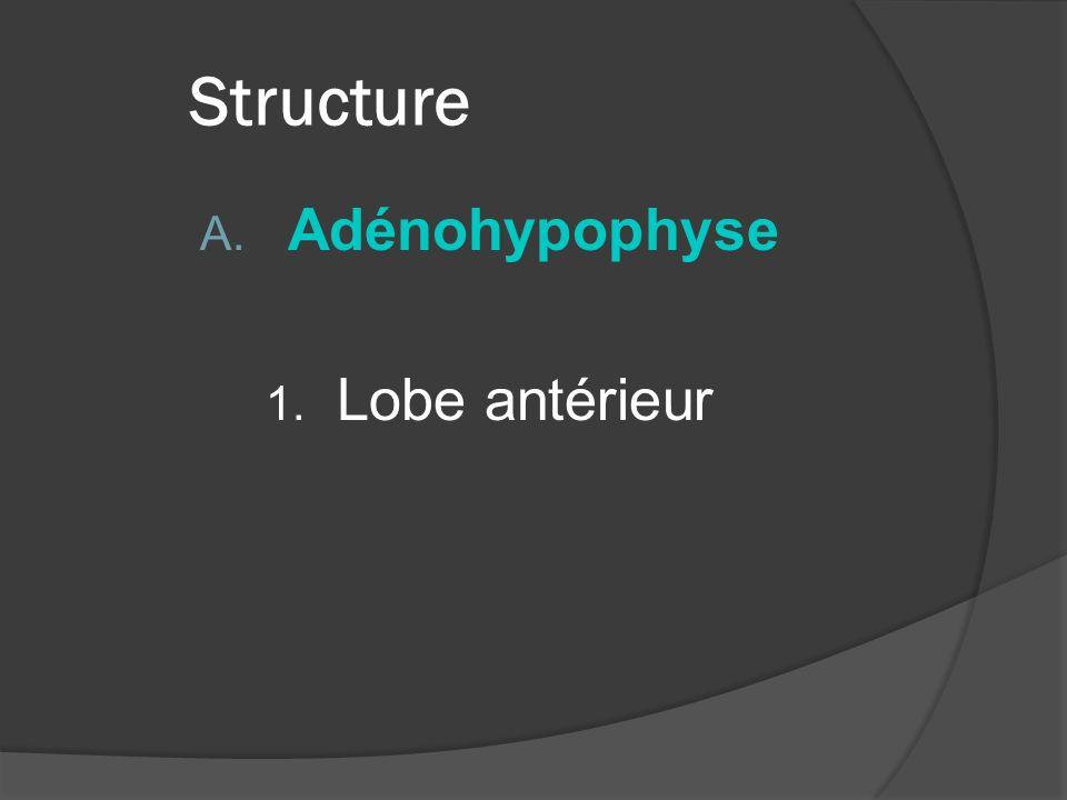 II.Structure A. Adénohypophyse 1. Lobe antérieur